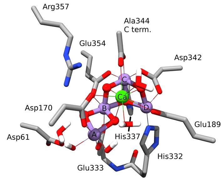 Abb. 5: Komplettes Modell des OEC im S2-Zustand des Kok-Zyklus, aufgebaut durch Kombination der Röntgen-Kristallstruktur von Guskov et al. [2] mit dem zweiten OEC-Kern in Abbildung 4. Die Geometrie des konstruierten Modells wurde mit DFT-Techniken optimiert. Die violetten, roten, blauen, grauweißen und grünen Farben zeigen die Position von jeweils Mn, O, N, C, H, und Ca-Atomen. Der Übersichtlichkeit halber wurde die Mehrheit der Wasserstoffatome entfernt. © Max-Planck-Institut für bioanorganische Chemie