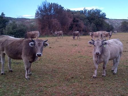 Kühe in Katalonien - Foto © Gerhard Hofmann, Agentur Zukunft - 20130104-01363
