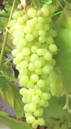 Weintrauben in Katalonien - Foto © Christian Vogt, Agentur Zukunft