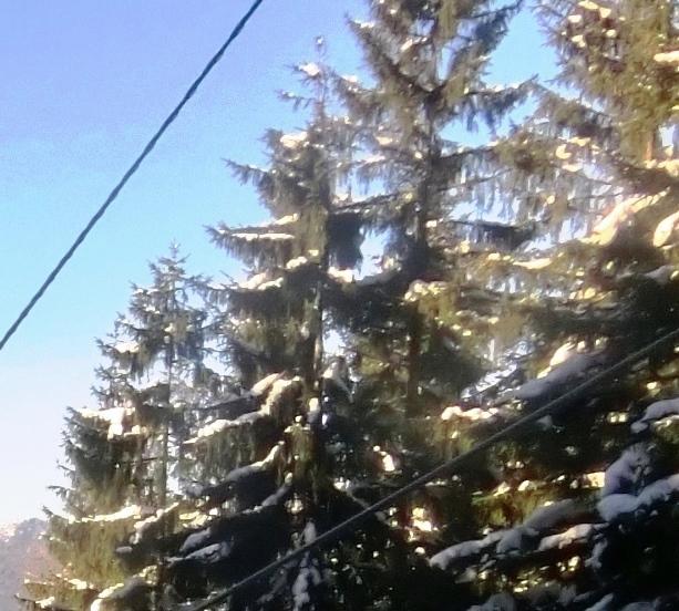 Klimawandel und Waldsterben - Angst- und Lamettatriebe an Fichten am Jenner - Foto © Gerhard Hofmann, Agentur Zukunft für Solarify