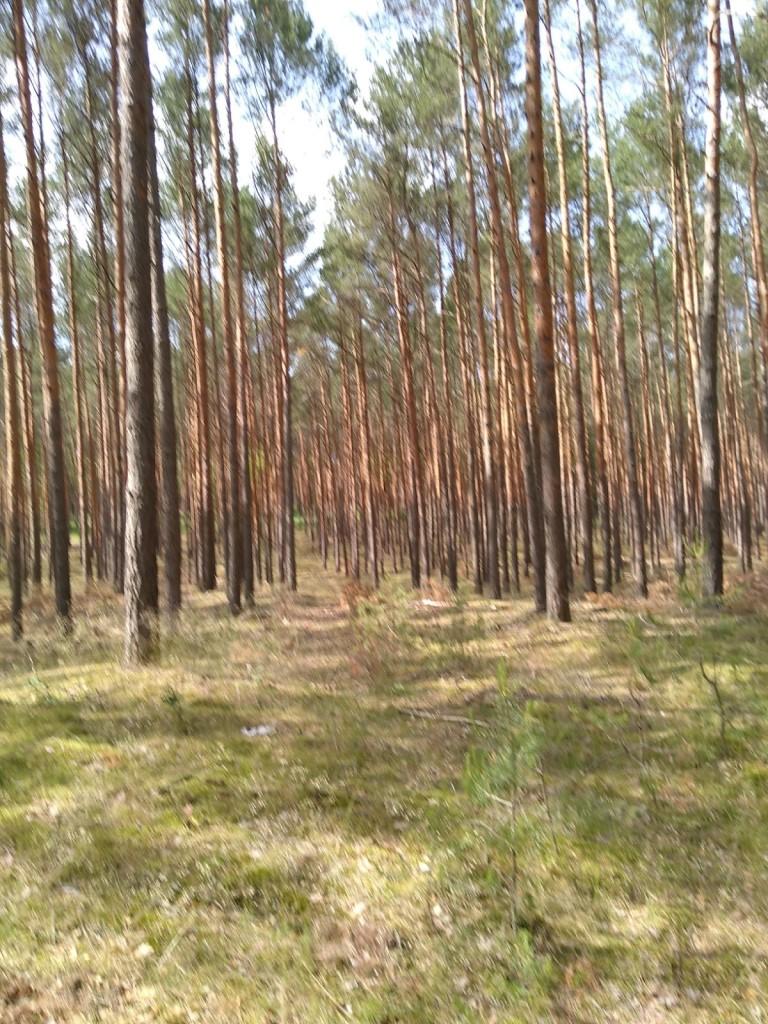 Geschädigter Fichtenwald mit Totholz bei Fürstenwalde, Brbg. - Foto © Agentur Zukunft für Solarify